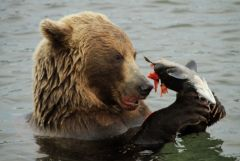 Медведь-рыболов.jpg