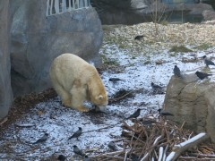 Полярный медведь в зоопарке Вены