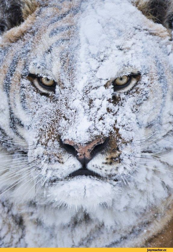 тигр зима снег 2579734