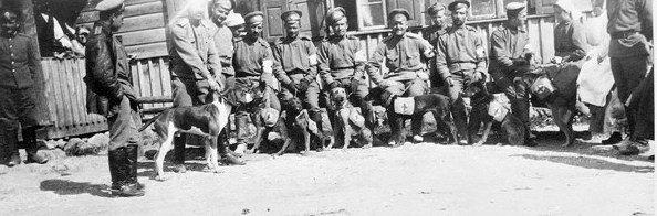 Санитарные собаки 38-й дивизии, 1915 год.