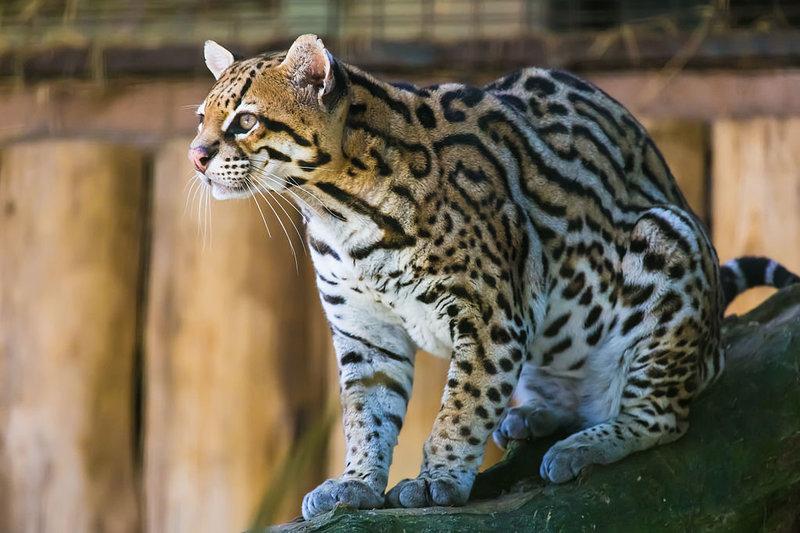 Ocelot-Cool-Cat.thumb.jpg.bacfc41f7bf3a666d0c783d790052d3a.jpg